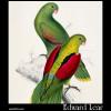 Crimson-Winged Parakeet, Platycercus erythropterus,