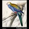 Paleheaded Parakeet, Platycercus palliceps