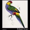 Platycercus pileatus, Red-Capped Parakeet