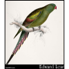 Palaeornis anthopeplus, the Blossom-Feathered Parakeet