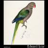 Palaeornis columboides, the Pigeon Parakeet