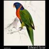 Trichoglossus rubritorquis, Scarlet-Collared Parakeet