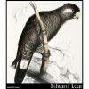 Baudin's Cockatoo (Calyptorhynchus baudinii )