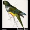 Patagonian Parakeet-Macaw (Psittacara patagonica )
